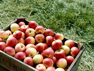 amazing apples